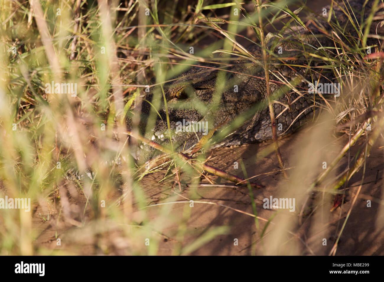 Crocodile among reeds on the banks of the Zambezi River near Victoria Falls in Zimbabwe. The croc (Crocodylus niloticus) peeks through the reeds. - Stock Image