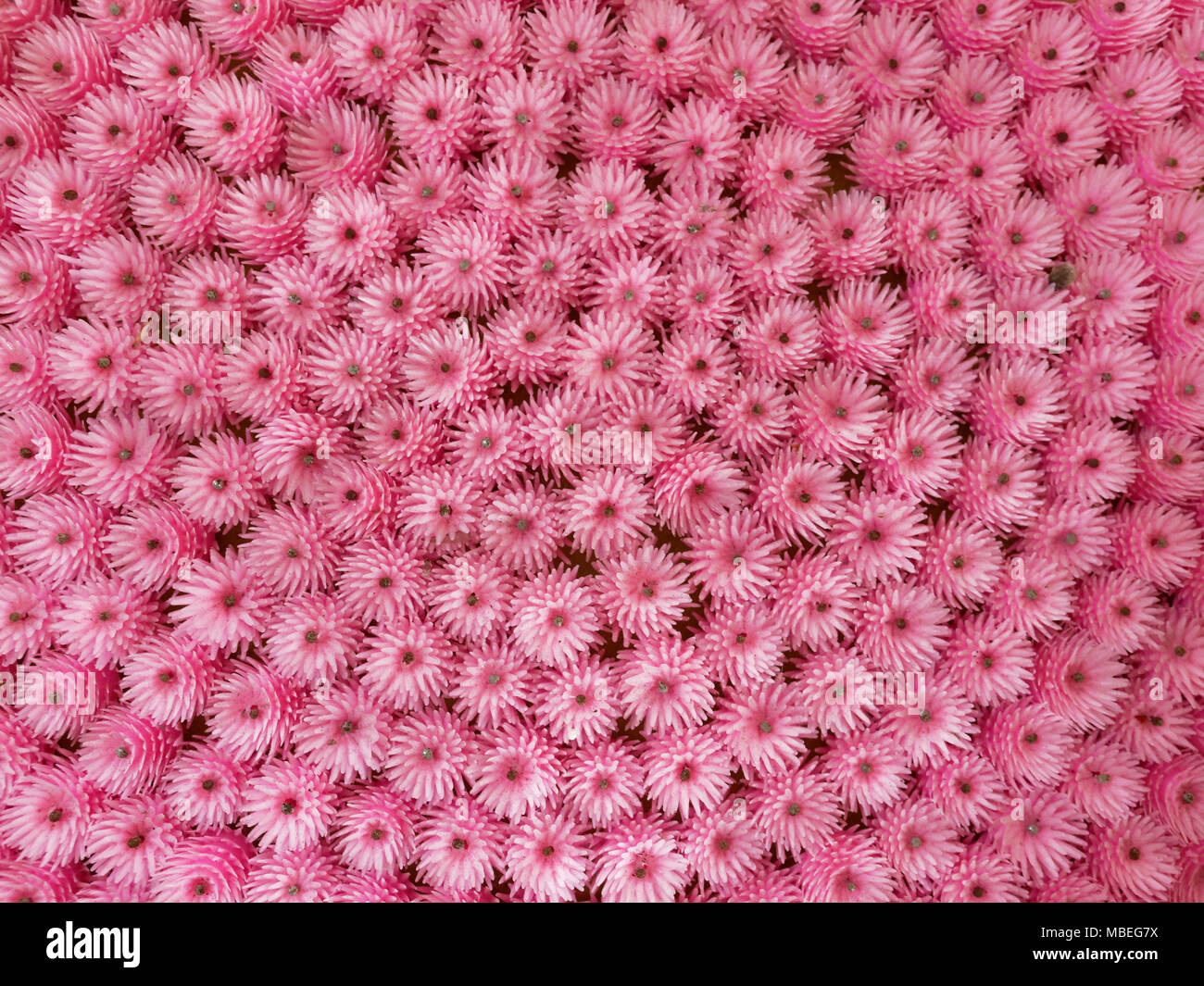 Pink artificial plastic flowers made as offering to buddha arranged pink artificial plastic flowers made as offering to buddha arranged in semi circle used as background pattern or texture in religious theme mightylinksfo
