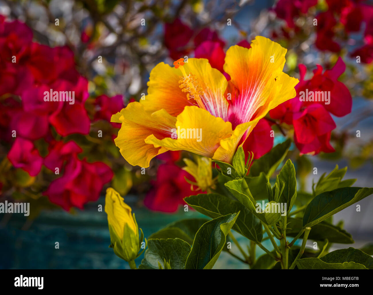 Yellow and red huge, colorful, trumpet-shaped Hibiscus flower with ...