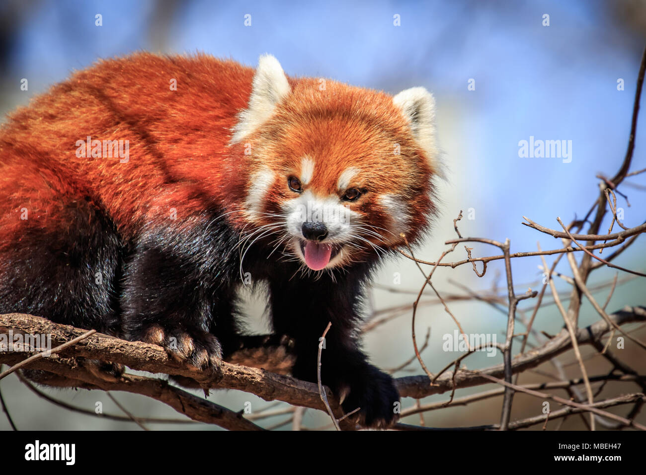 A Red Panda (Ailurus fulgens) in a tree. - Stock Image
