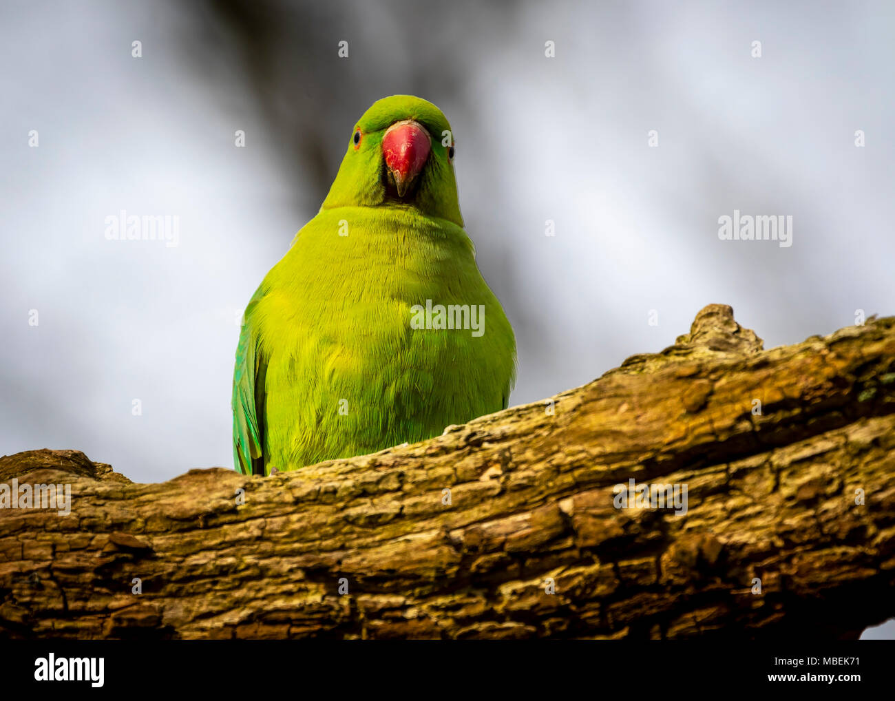 Ring neck parakeet Stock Photo