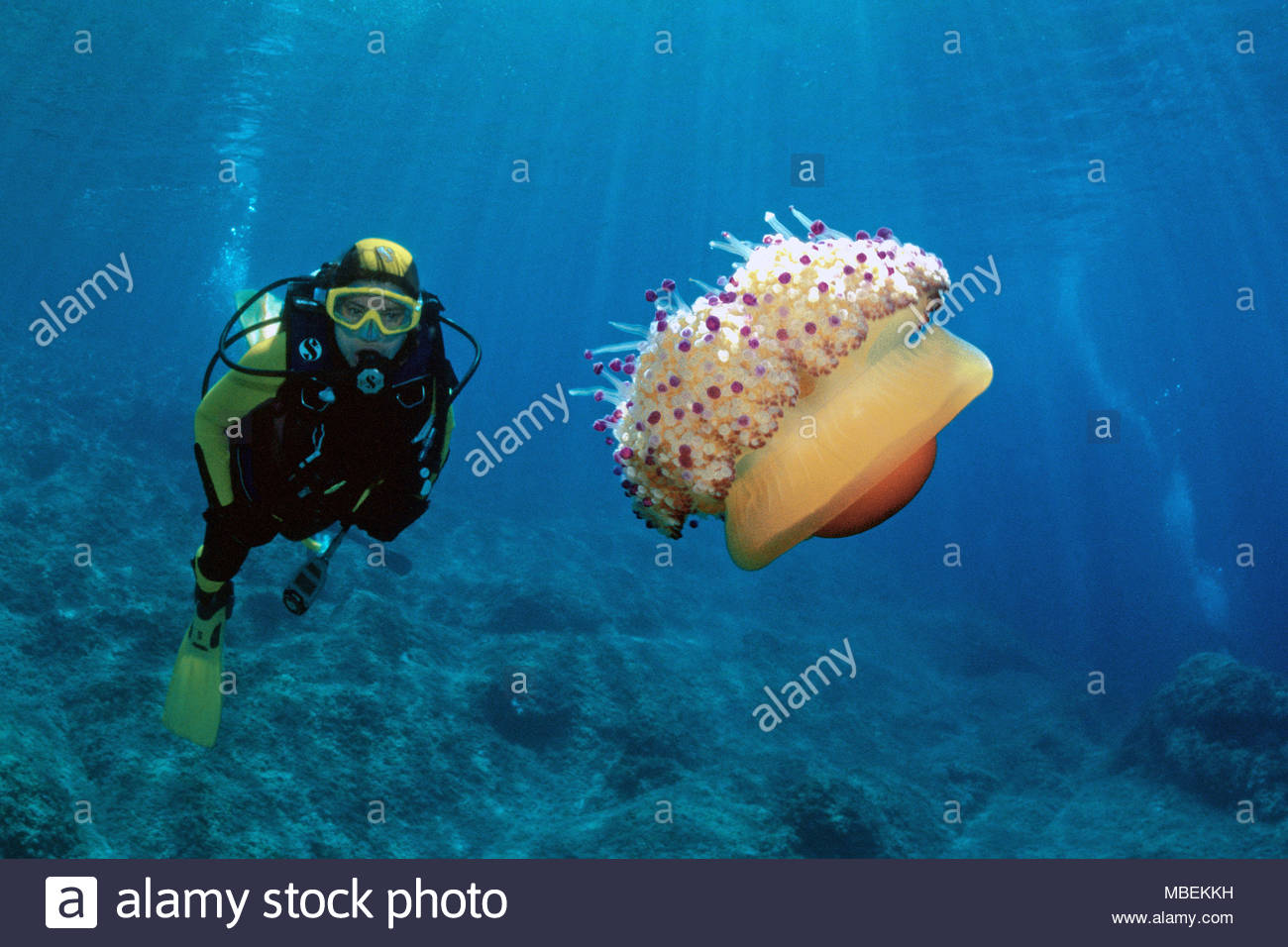 Scuba diver and Fried Egg Jellyfish (Cotylorhiza tuberculata) also known as Egg jellyfish, Mediterranean Jellyfish or Blubber jelly, Croatia - Stock Image