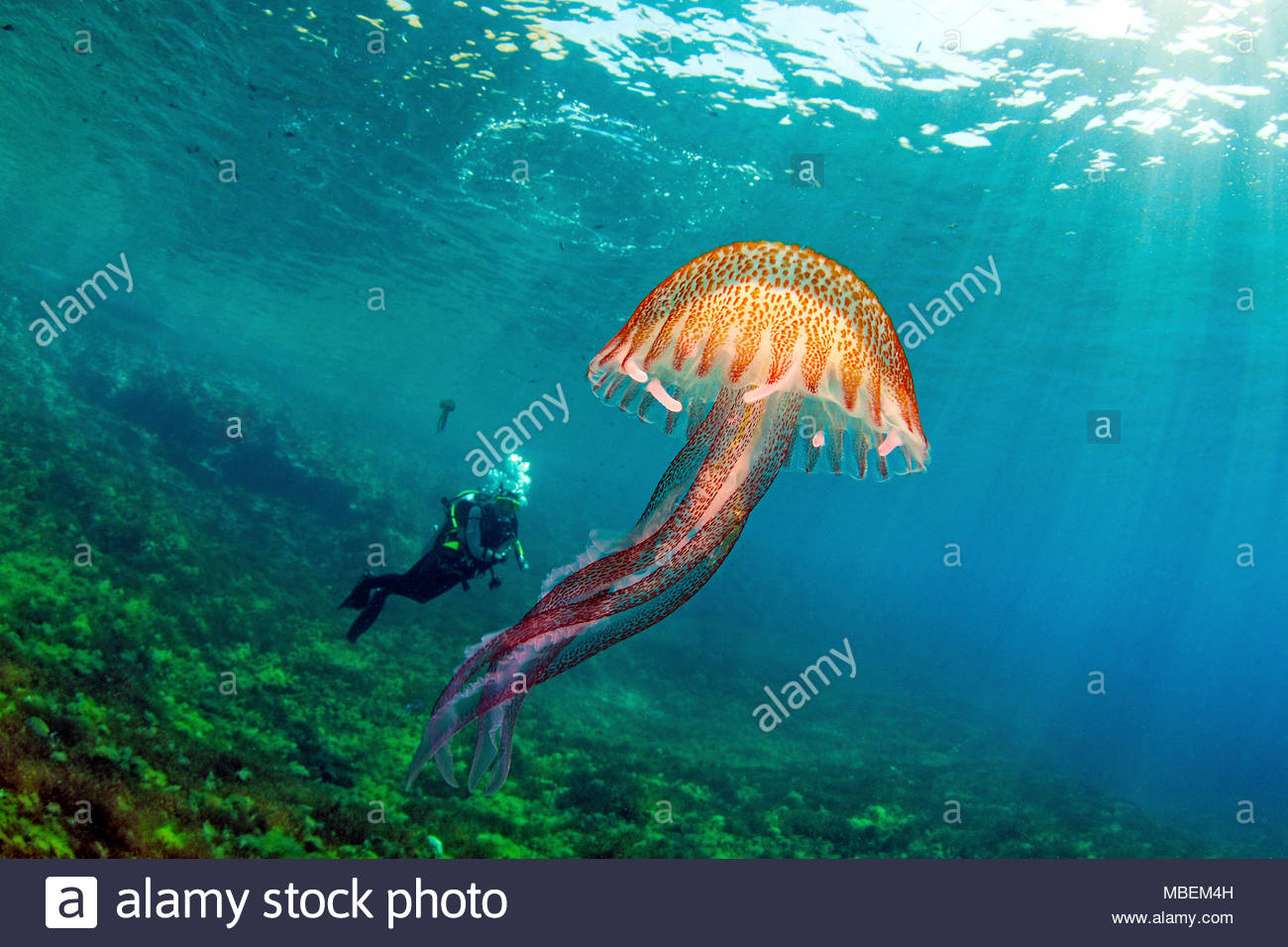 Scuba diver and fire jellyfish, mauve stinger, warty jelly (Pelagia noctiluca), dangerous, Gozo island, Malta - Stock Image