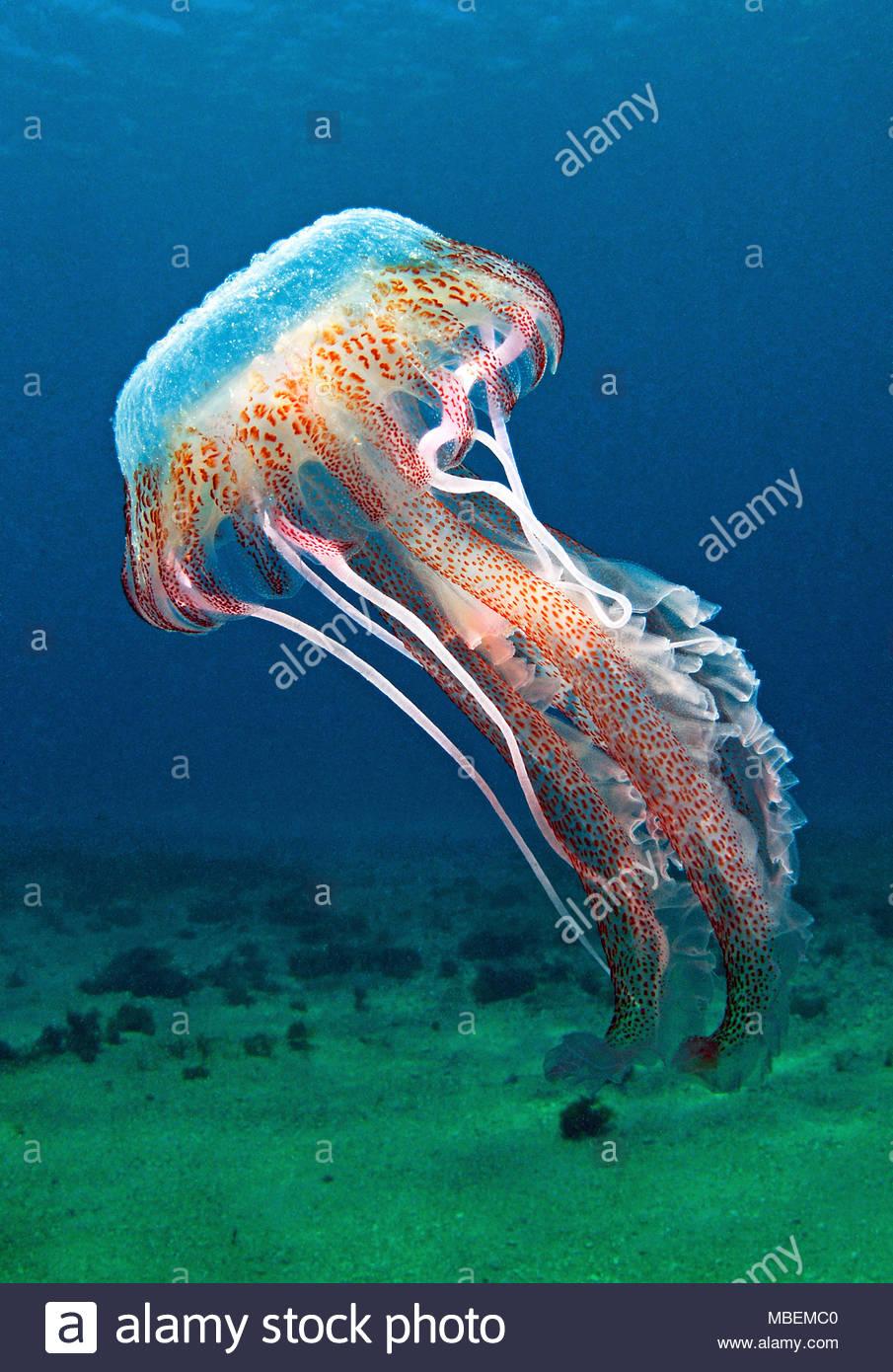 Fire jellyfish, mauve stinger, warty jelly (Pelagia noctiluca), dangerous, Mallorca island, Baleares, Spain - Stock Image