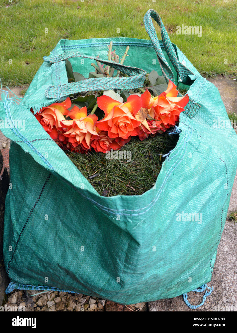 dead cut roses in biodegradable garden waste for disposal Stock Photo