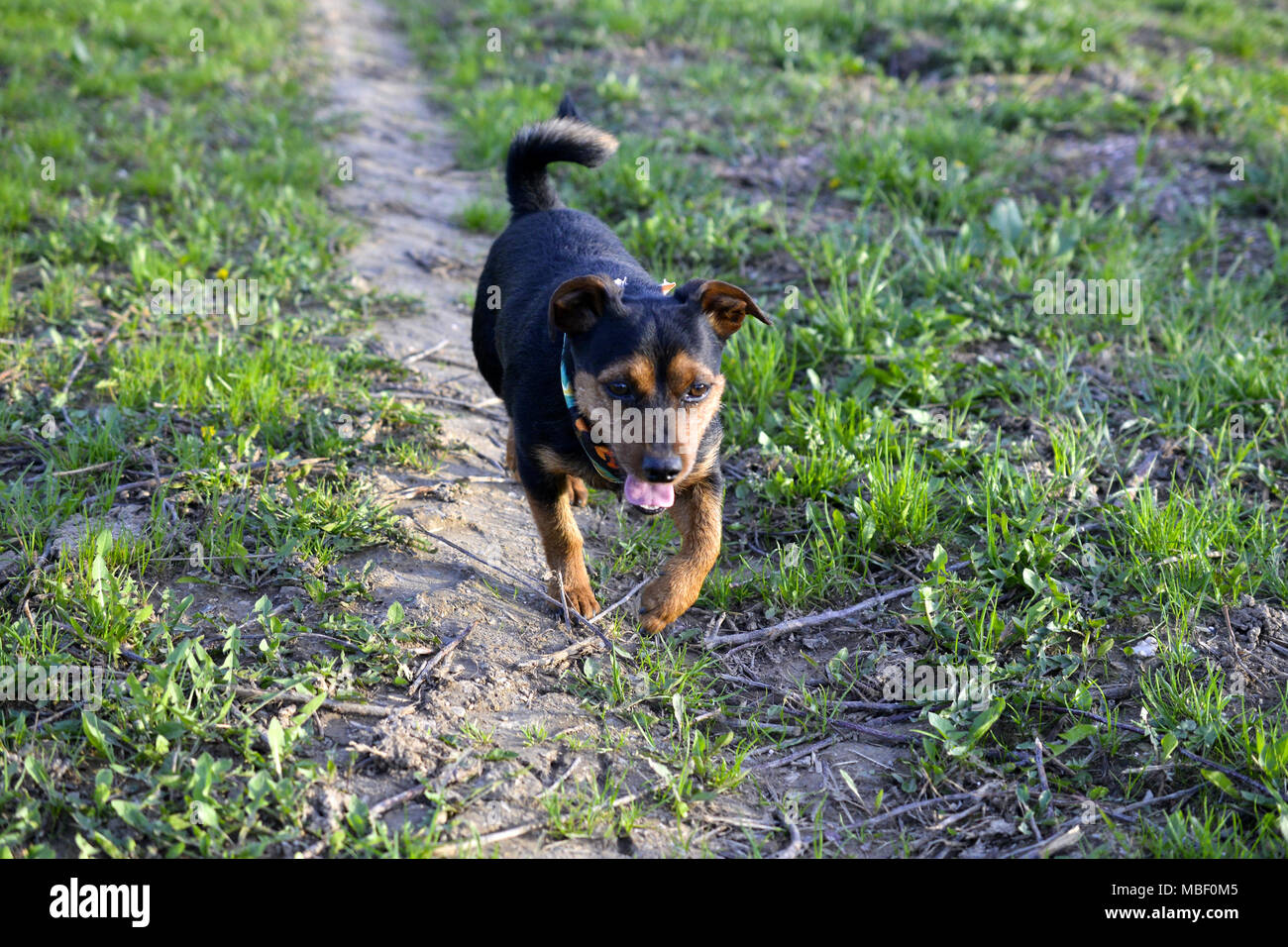 miniature pinscher dog in nature,image of a - Stock Image