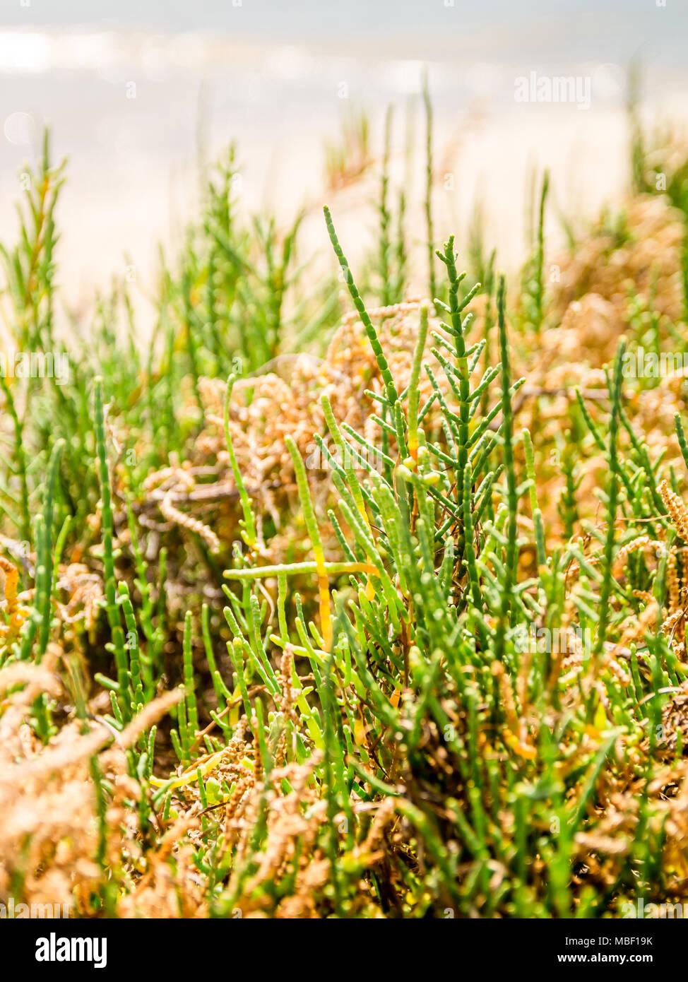 Salicornia or marsh samphire, a culinary delicacy growing in Fuseta, Ria Formosa, Portugal - Stock Image
