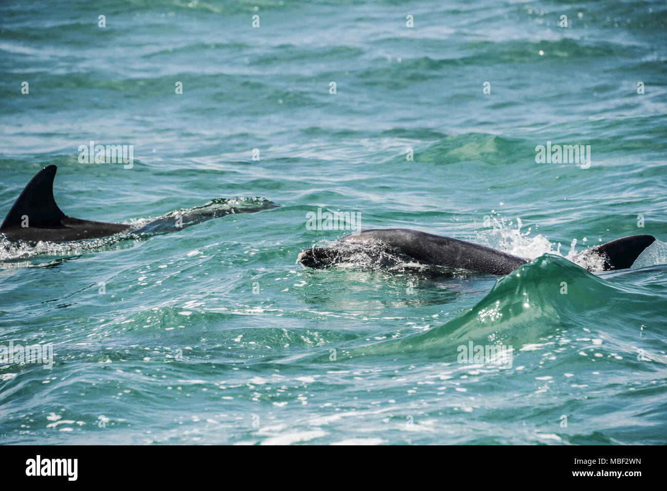 Indo-Pacific bottlenose dolphin (Tursiops aduncus) - Stock Image