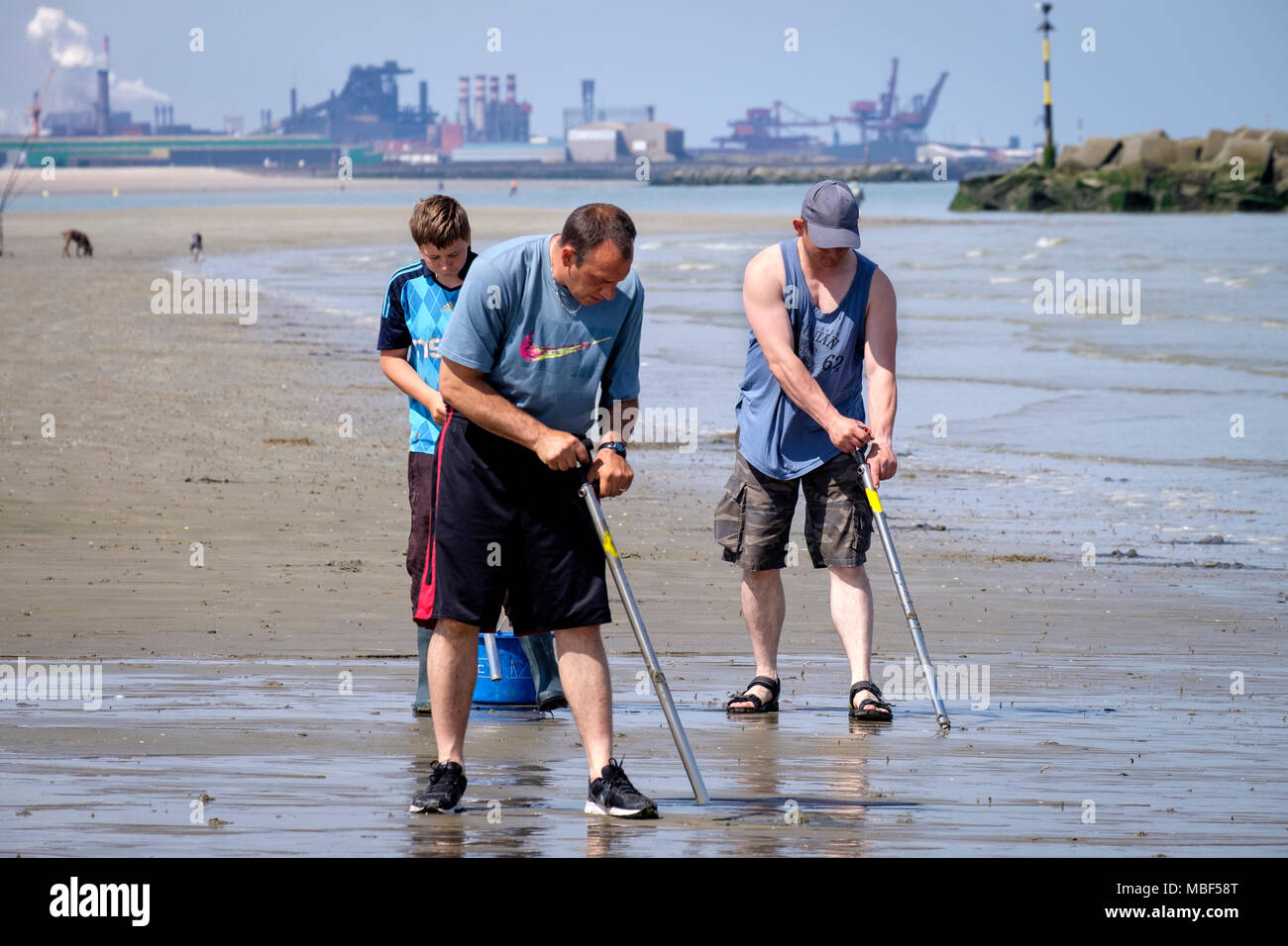 Fishermen catching lugworms or ragworms with a bait pump Dunkirk beach France - Stock Image