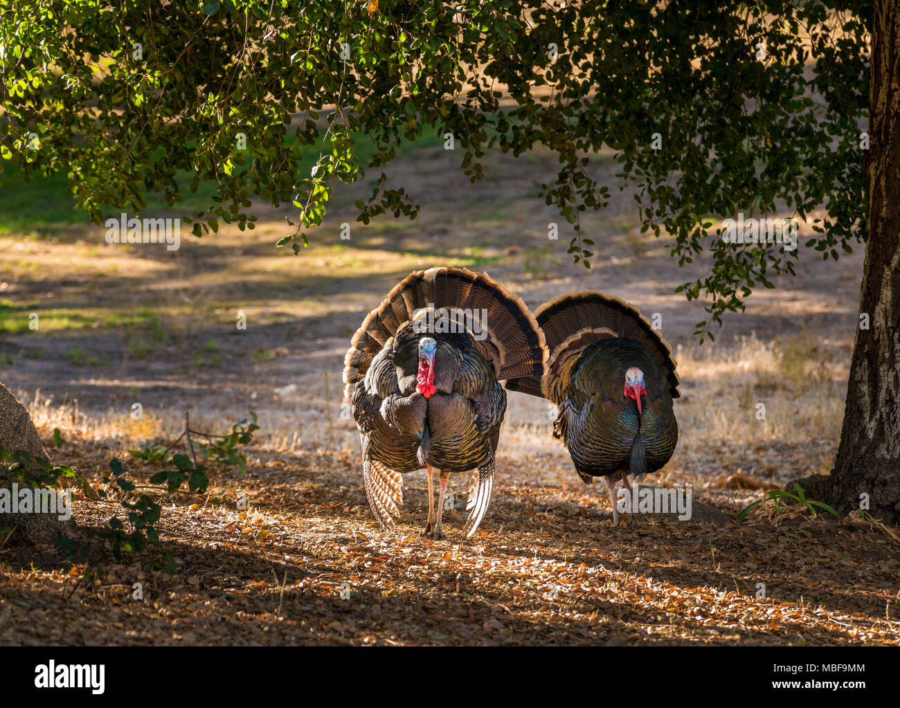 Male wild turkeys (Meleagris gallopavo) displaying and strutting with tail feathers in fan outside, USA - Stock Image