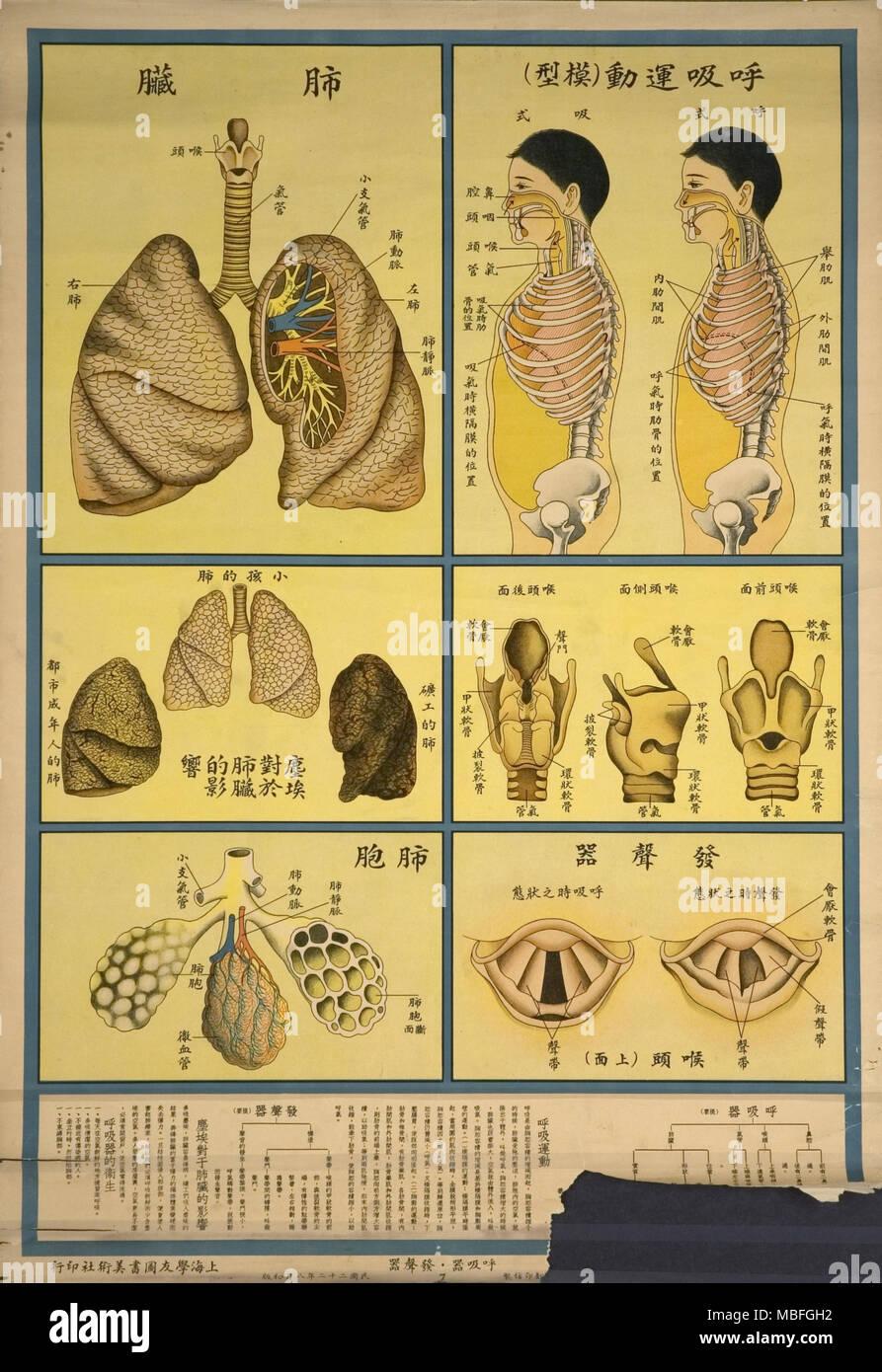 Lung Anatomy & Respiration - Stock Image