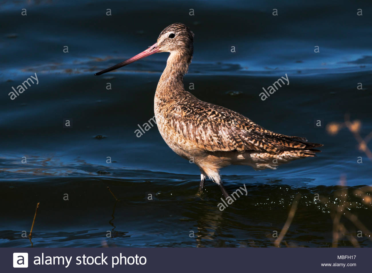 marbled-godwit-limosa-fedoa-walking-along-shore-in-arizona-usa-MBFH17.jpg