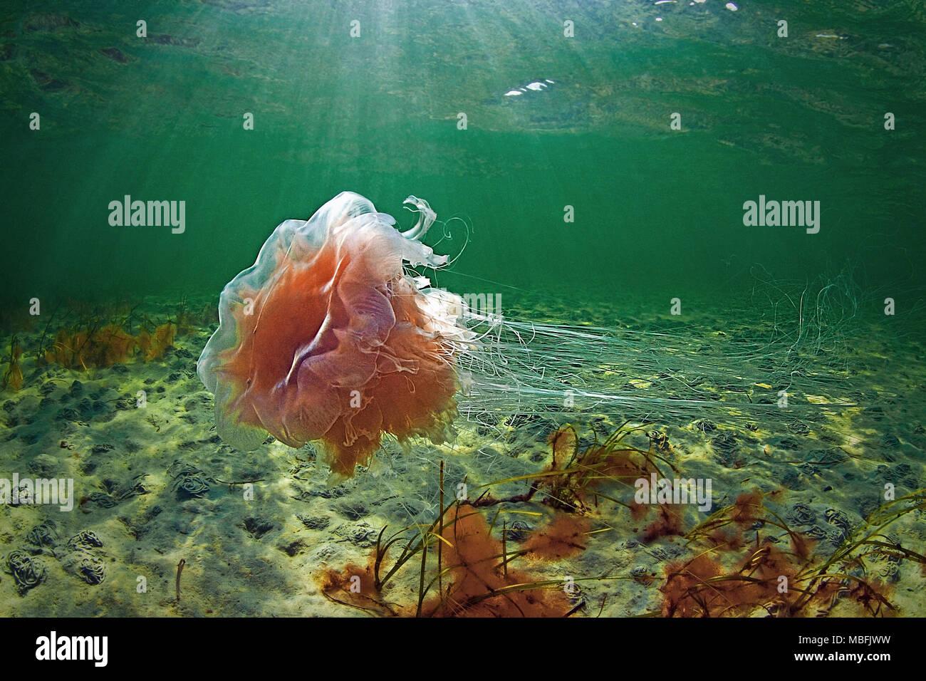 Lion´s mane (Cyanea capillata), dangerous, Baltic sea and German sea, Germany - Stock Image