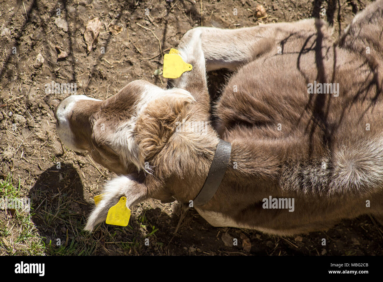 Resting cow from above - Stock Image