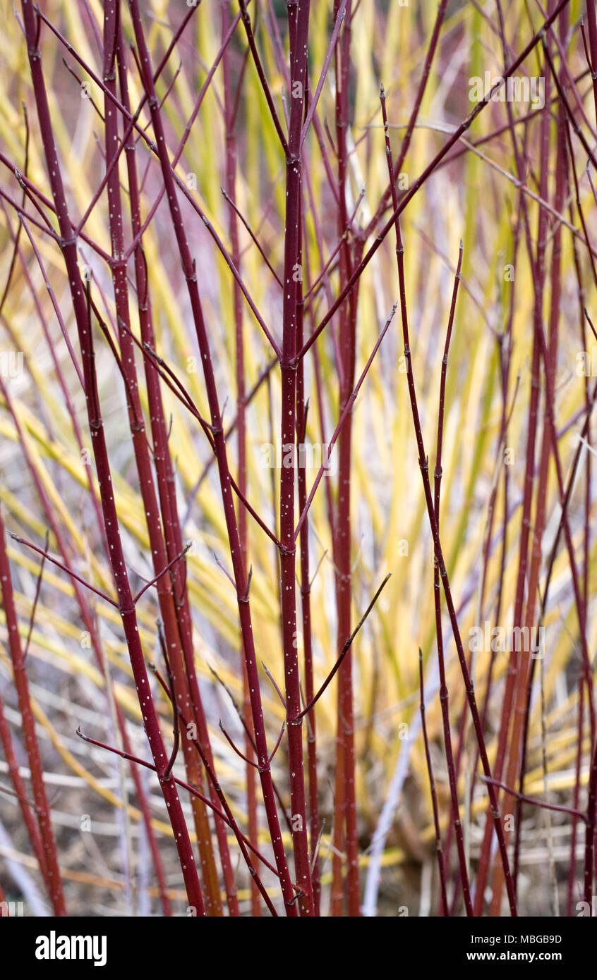 Cornus sericea subsp occidentalis 'Sunshine' stems in late winter. - Stock Image