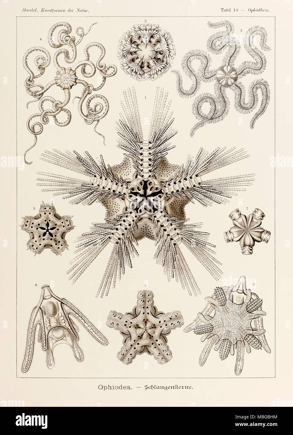 Plate 10 Ophiothrix Ophiodea from 'Kunstformen der Natur' (Art Forms in Nature) illustrated by Ernst Haeckel (1834-1919). See more information below. Stock Photo