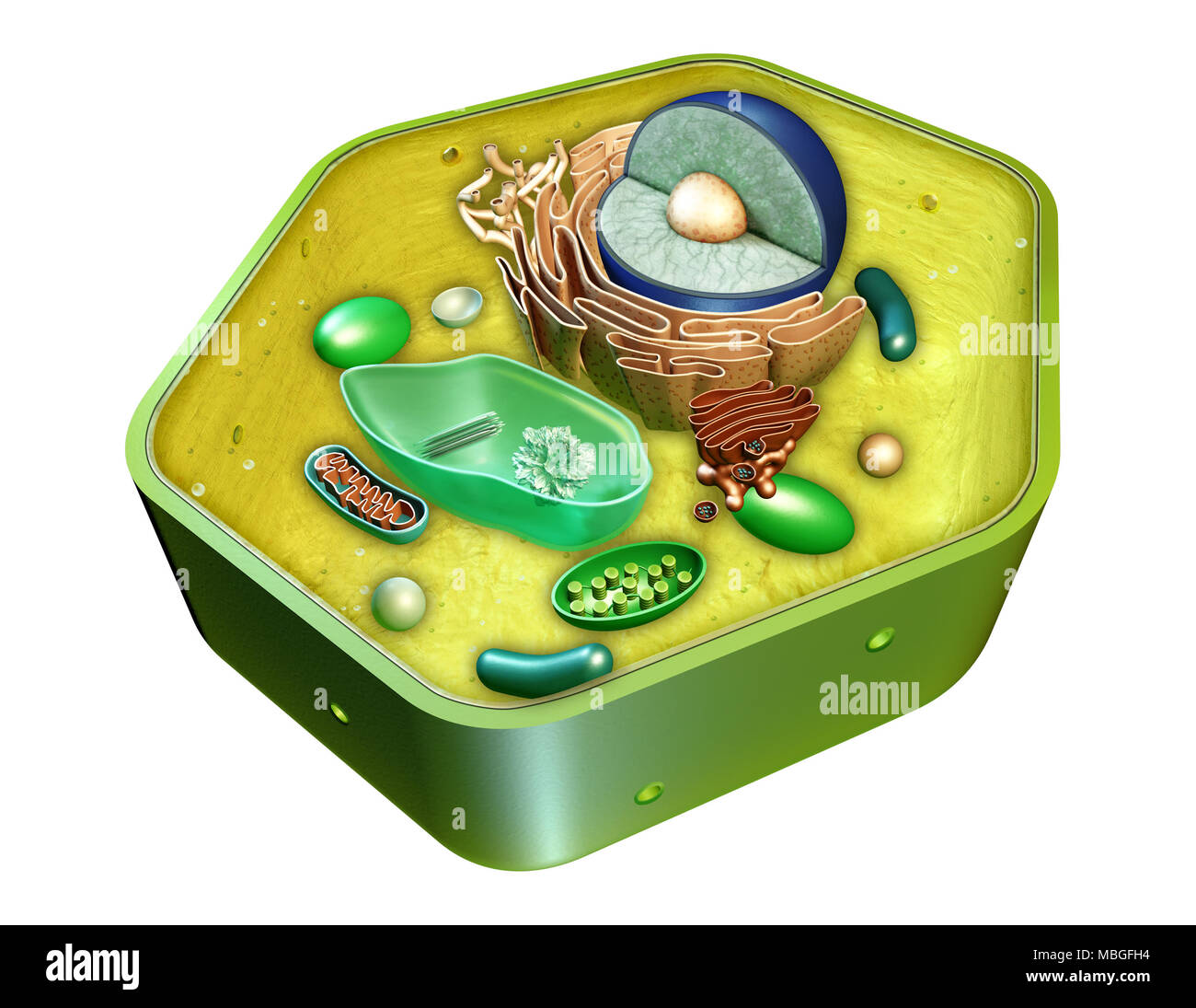 Rough Endoplasmic Reticulum Stock Photos Simple Plant Cell Diagram With Labels For Kids Project A Internal Structure Of Digital Illustration Clipping Path Included