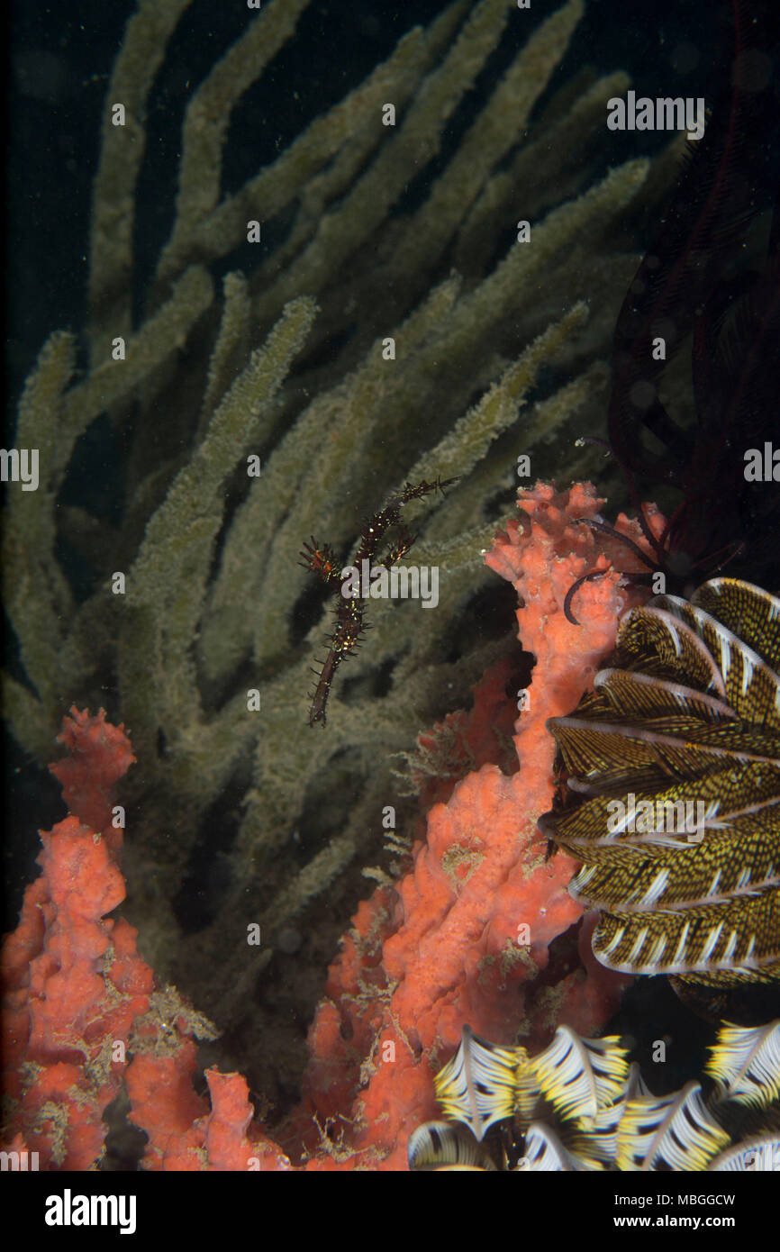 Ghost Pipefishes (Solenostomus paradoxus). Picture was taken in the Banda sea, Ambon, West Papua, Indonesia - Stock Image