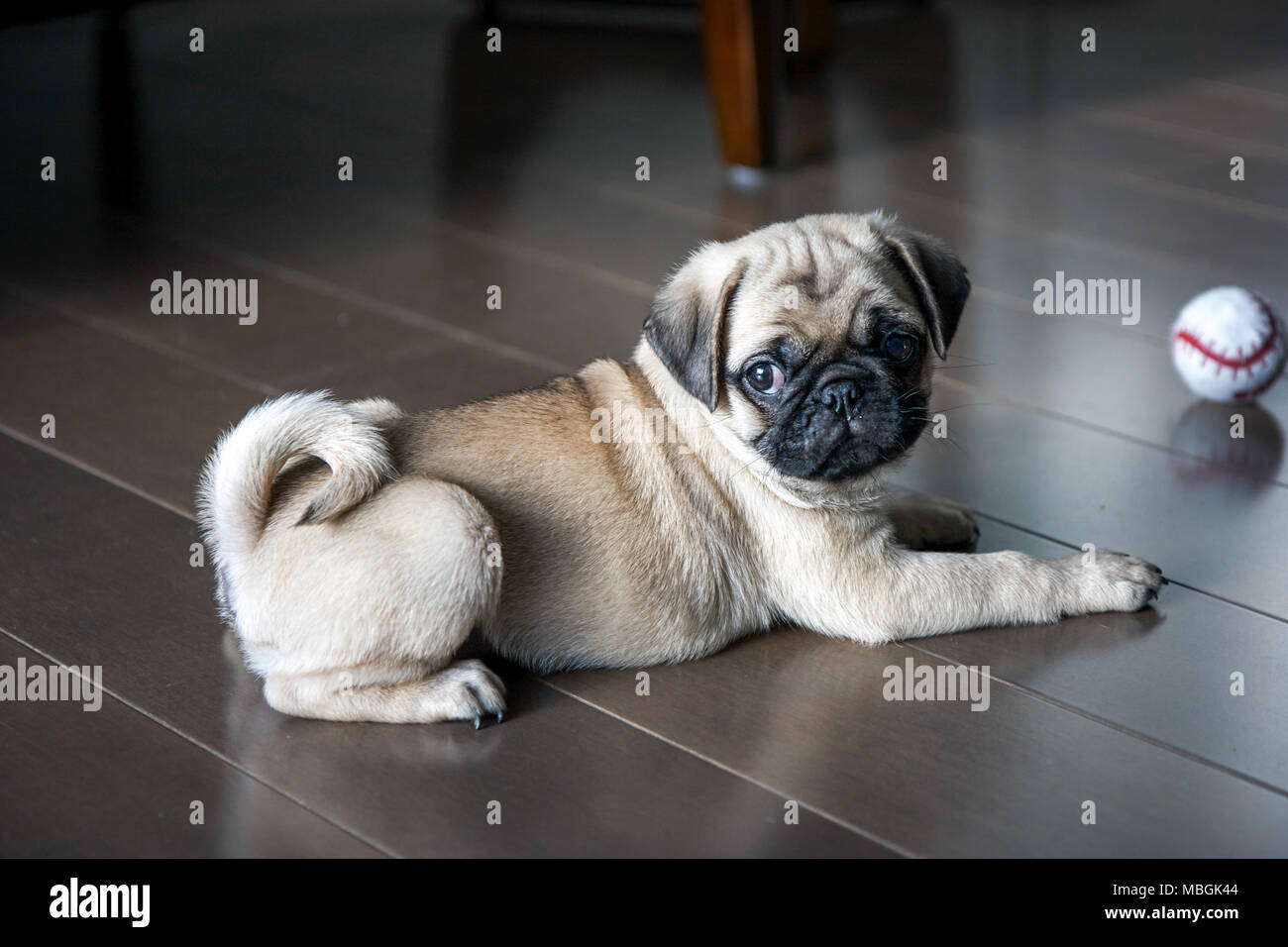 Pug Puppy Playing on the Floor - Stock Image