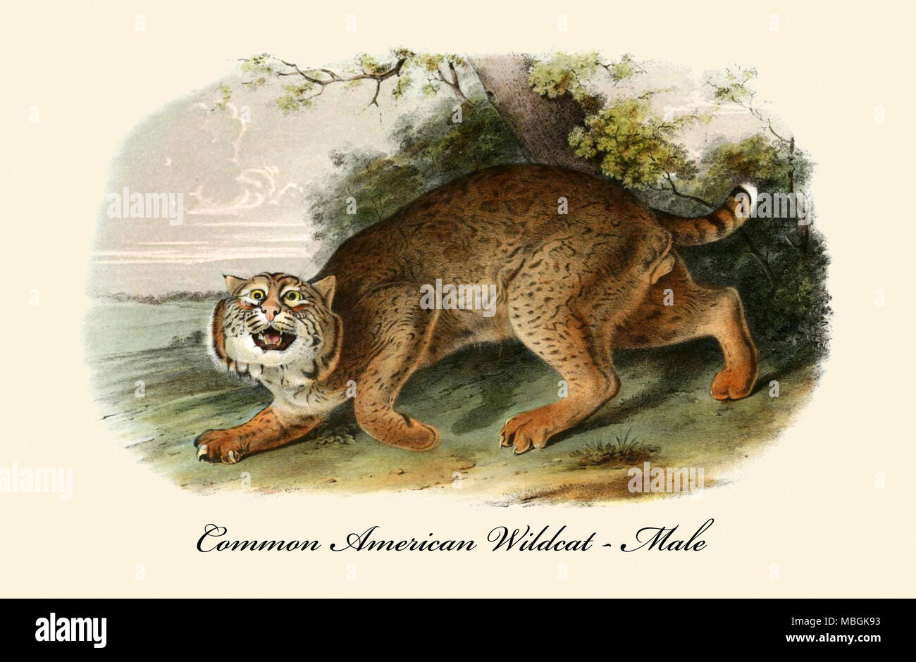 Common American Wildcat-Male - Stock Image