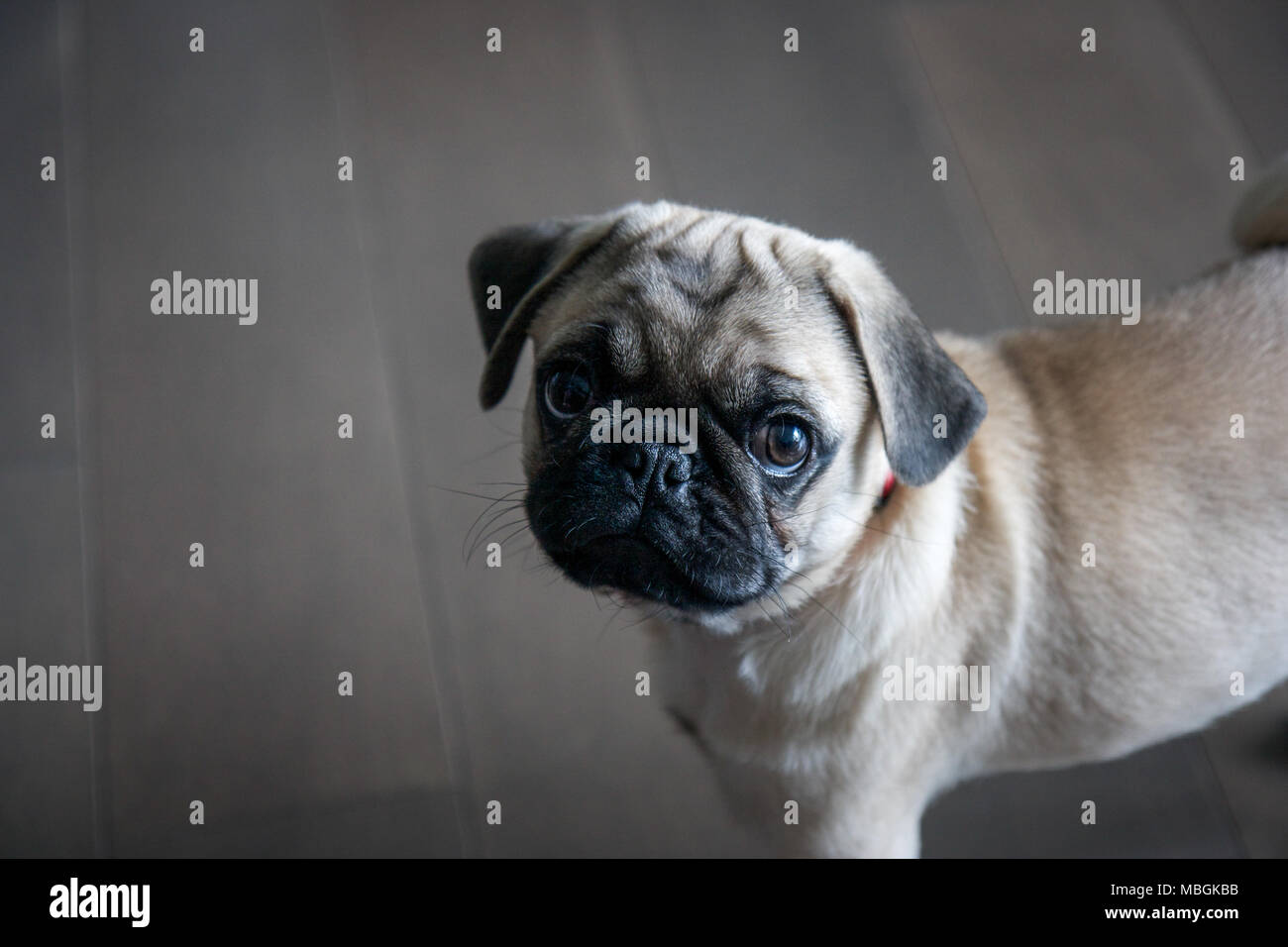 Adorable Pug Puppy Looking Upwards - Stock Image
