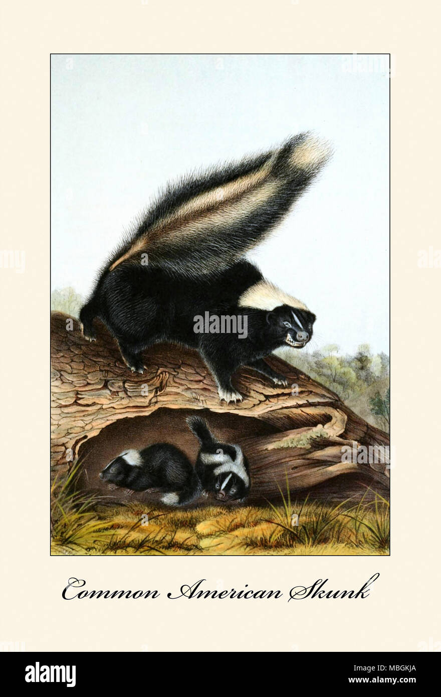 Common American Skunk - Stock Image