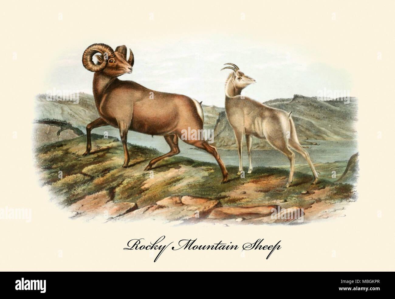 Rocky Mountain Sheep - Stock Image