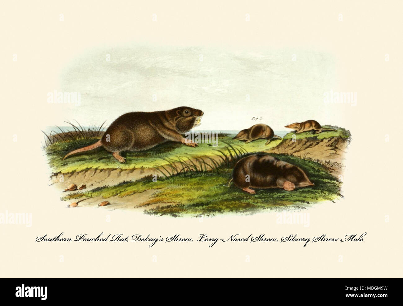 Southern Pouched Rat, Dekay's Shrew, Long-Nosed Shrew, Silvery Shrew Mole - Stock Image
