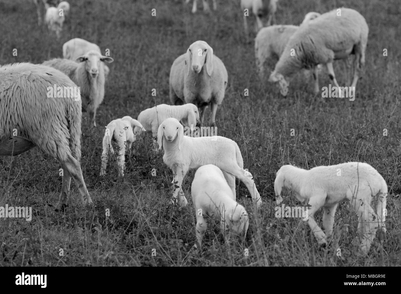 Flock of sheep browsing on alfalfa countryside hill field - Stock Image