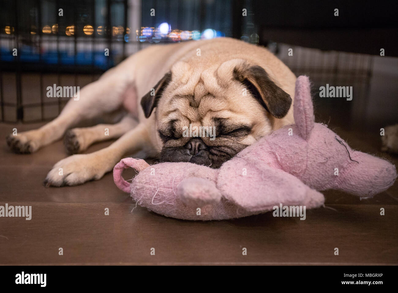 Pug Sleeping on His Favourite Toy - Stock Image
