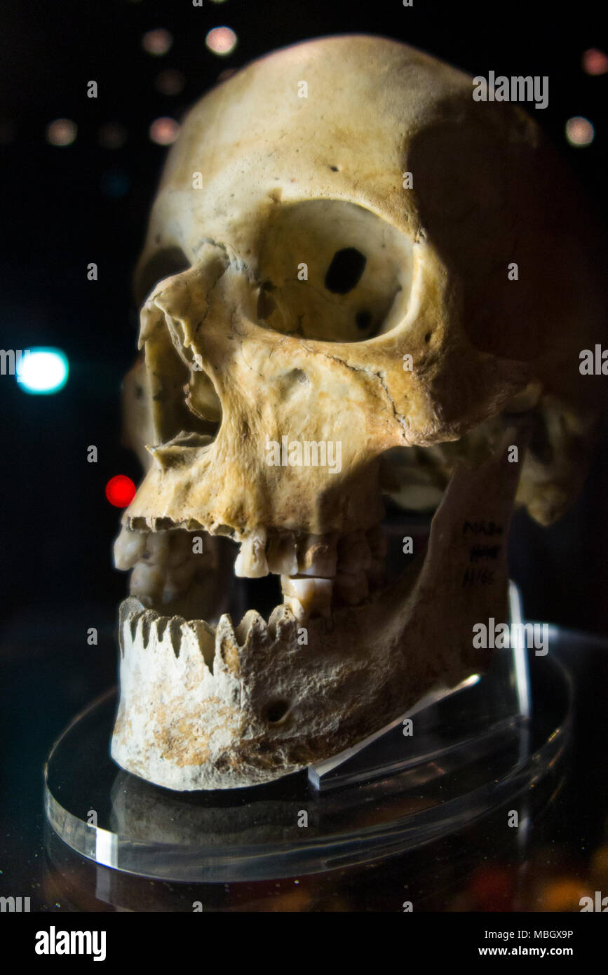 Human skull from wreck of the Mary Rose; warship of English Tudor navy of King Henry VIII. The Mary Rose Museum, Historic Dockyard, Portsmouth. UK - Stock Image