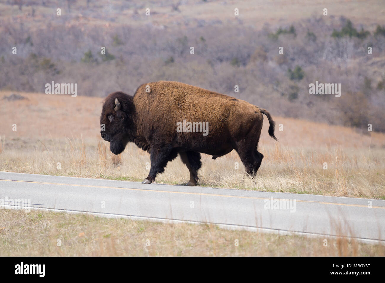 A large buffalo is crossing the road in Witchita Mountains Wildlife Reserve. - Stock Image