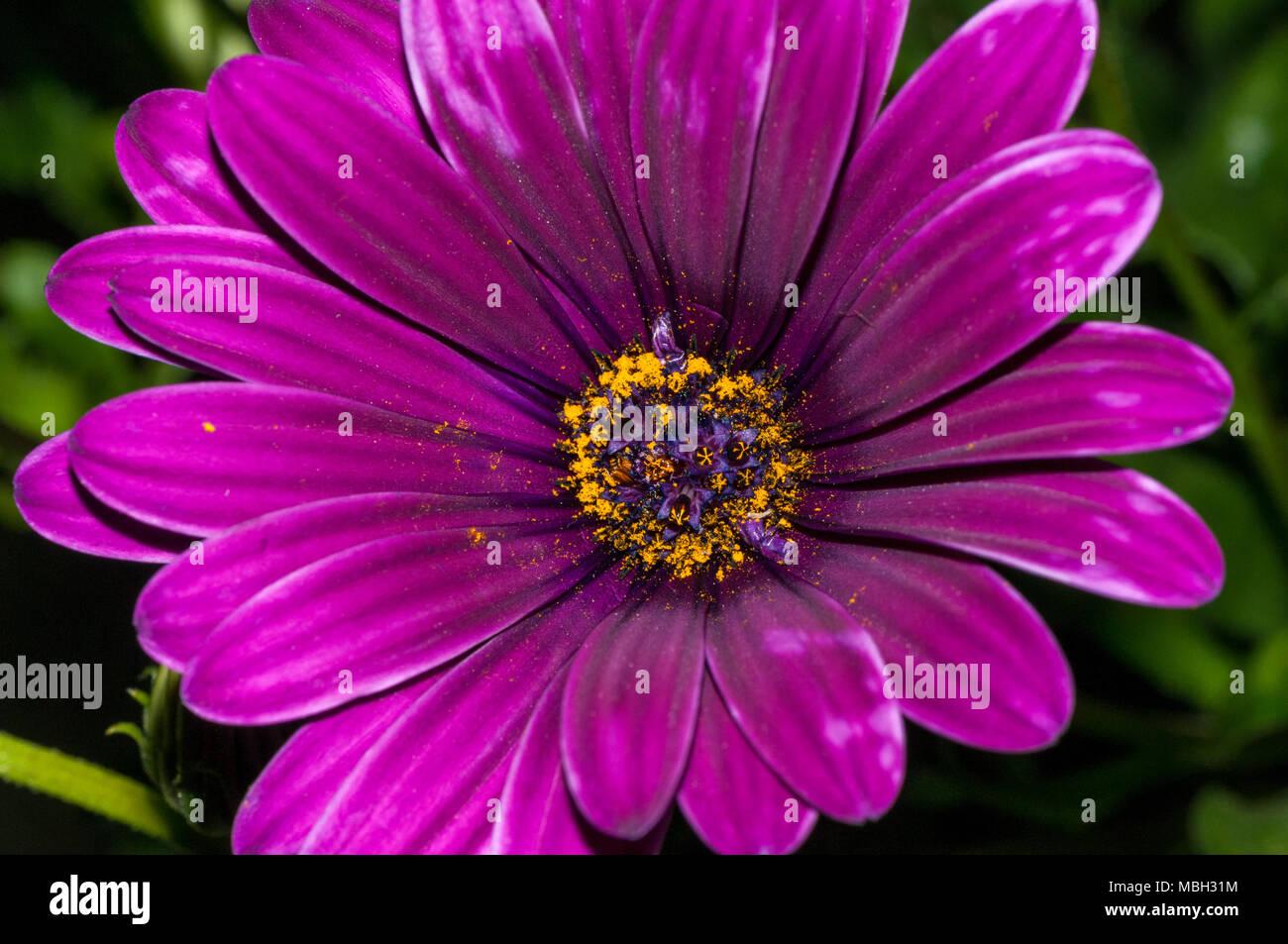 Sundays river daisy, Van Staden's river daisy, white daisy bush, Dimorphoteca ecklonis - Stock Image