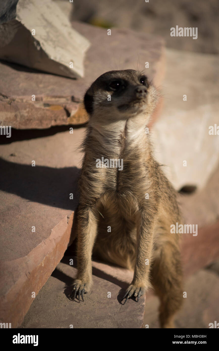 Funny Meerkat Stock Photo