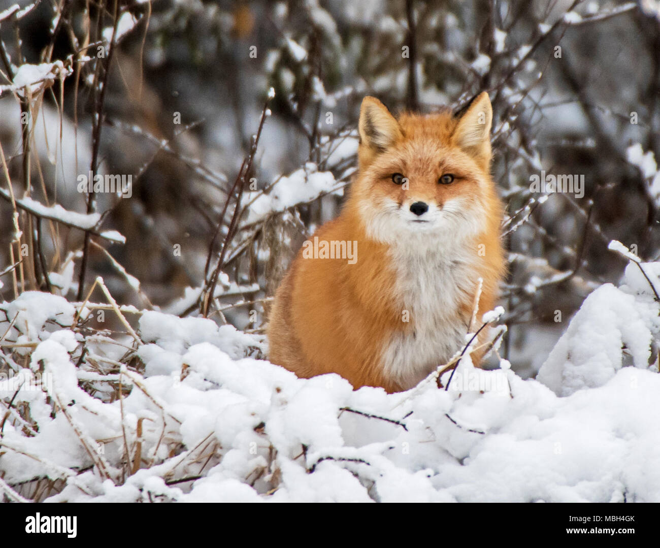 A Red Fox Pauses While Hunting - Stock Image