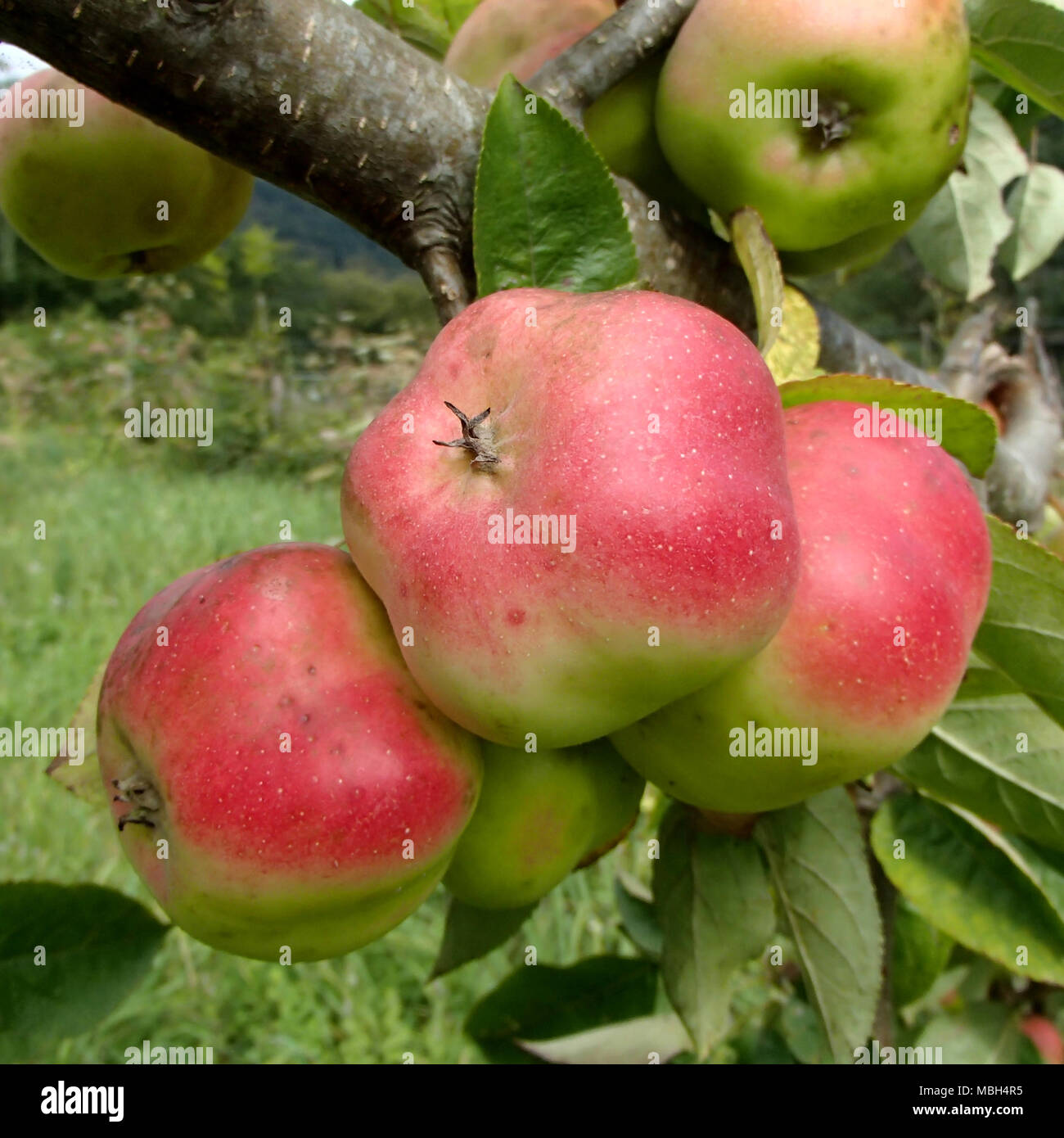 Three Starry Red Api Apples Close-Up Stock Photo
