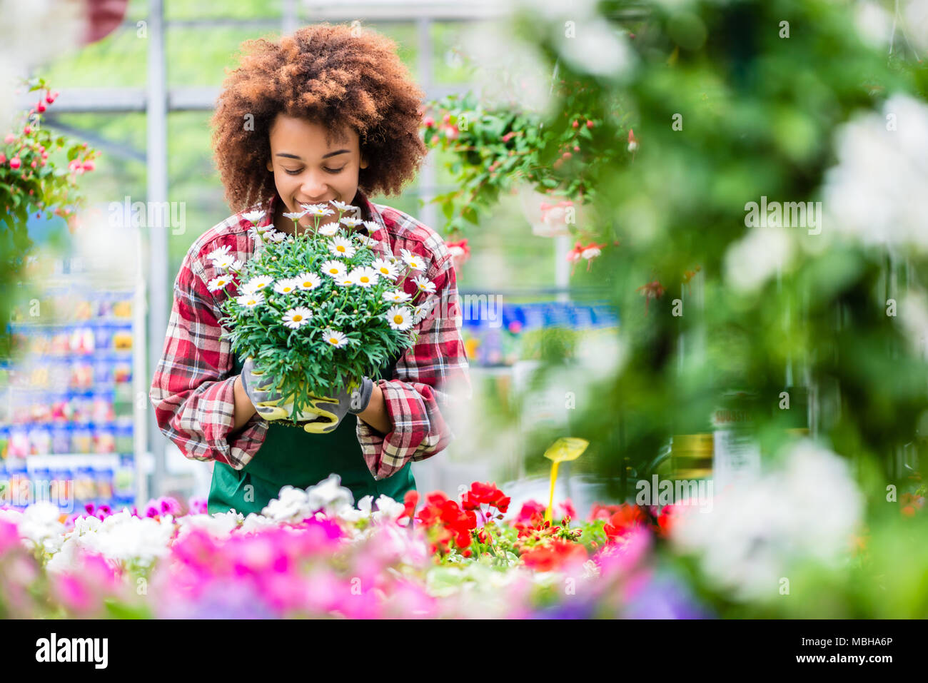 Florist smiling while holding a beautiful potted daisy flower plant - Stock Image