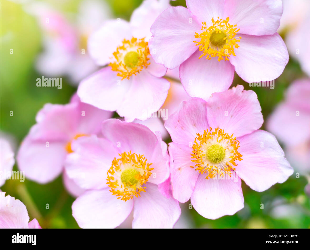 Anemone Hupehensis Or Thimble Weed In The Sunlight Autumn Flowers