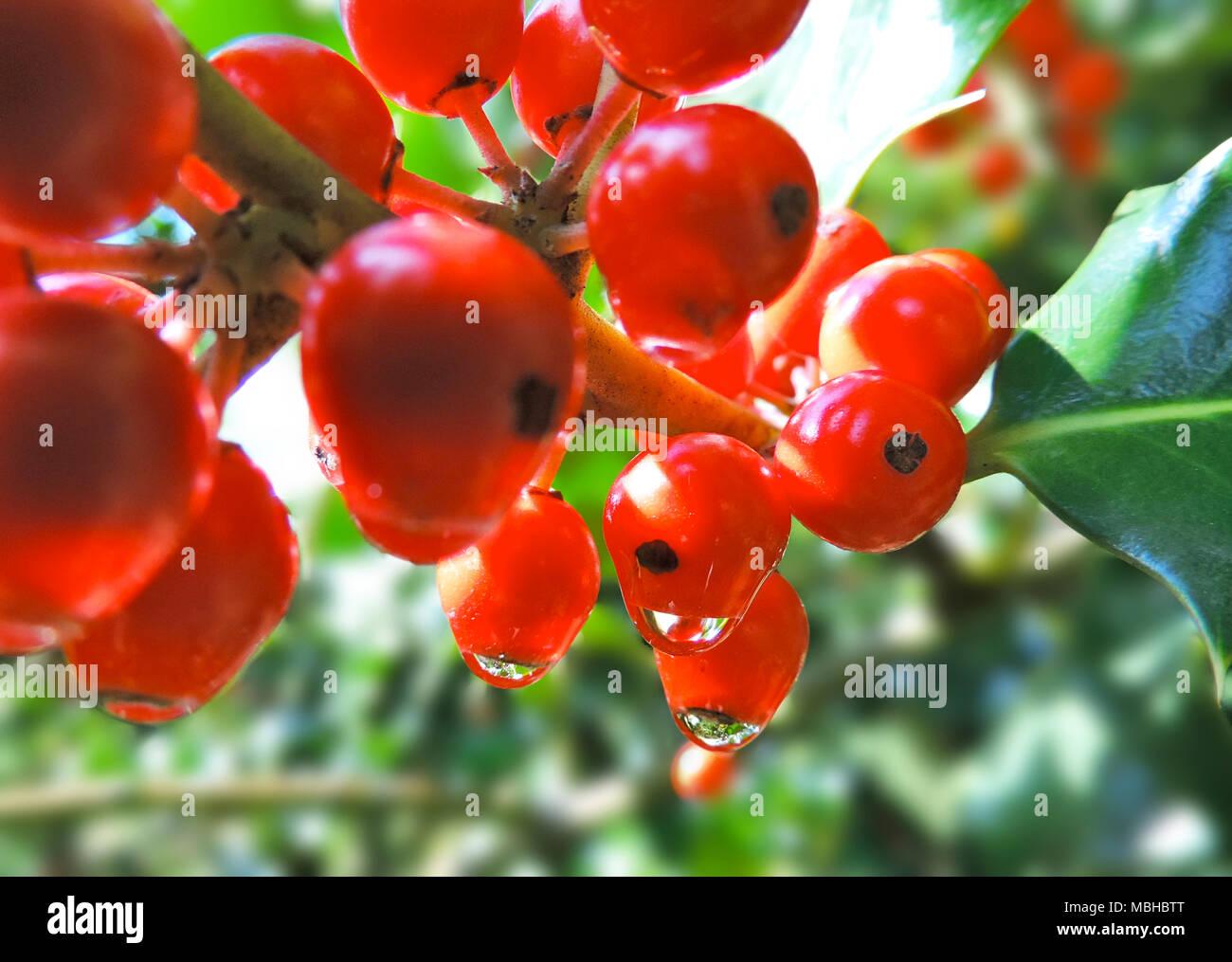 Christmas holly, design element. Christmas decoration, christmas plant. - Stock Image