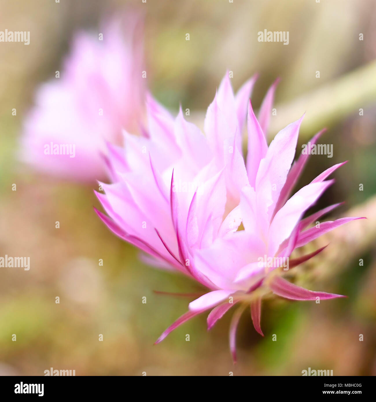 Pink desert flower stock photos pink desert flower stock images blossoming cactus with selective focus and pink or rose flowers desert plant with beautiful flowers mightylinksfo