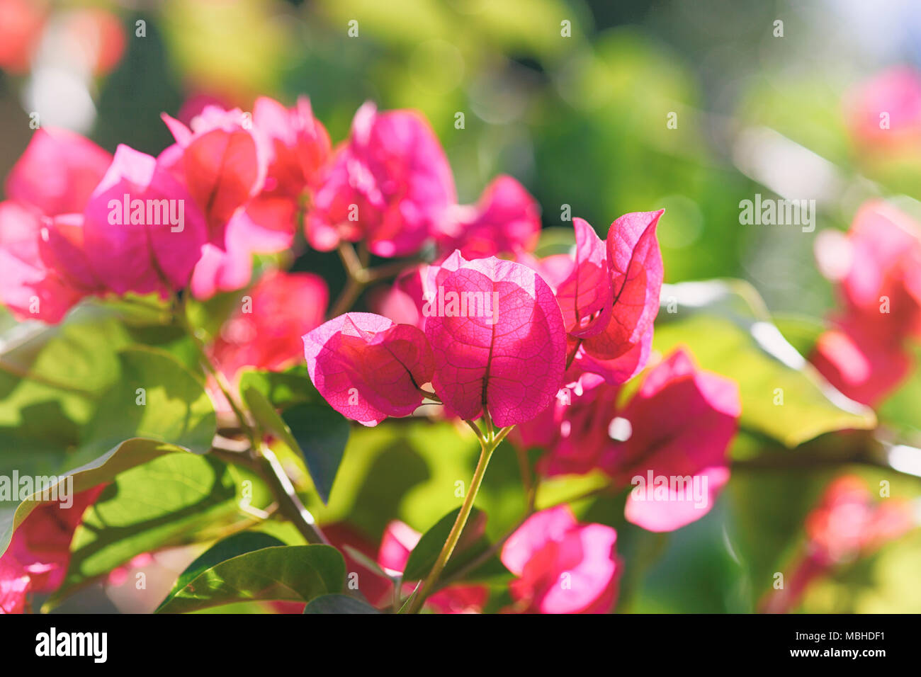 Beautiful magenta Bougainvillea flowering. Close up. - Stock Image