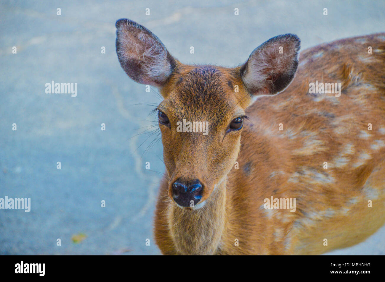 Deer Looking At You Stock Photo