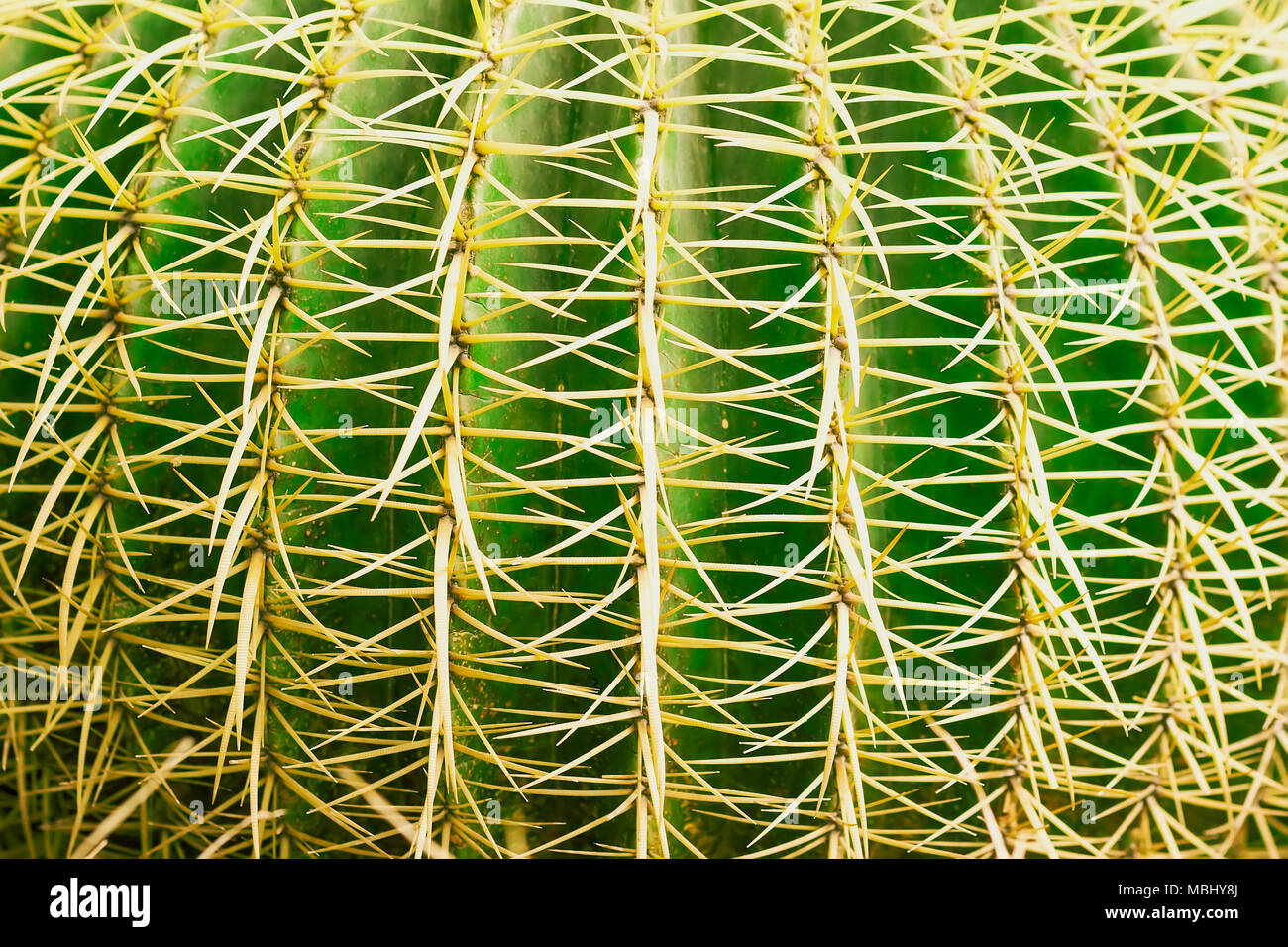 Tropical natural green cactus texture. Abstract natural pattern texture, exotic spiny background - Stock Image