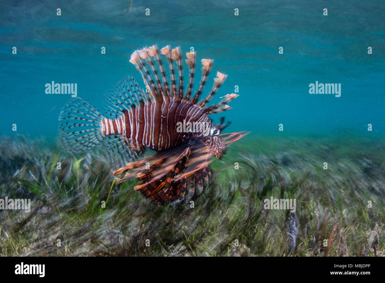 A Lionfish, Pterois volitans, swims over seagrass in the Banda Sea. This region is in the Coral Triangle and has high marine biodiversity. Stock Photo