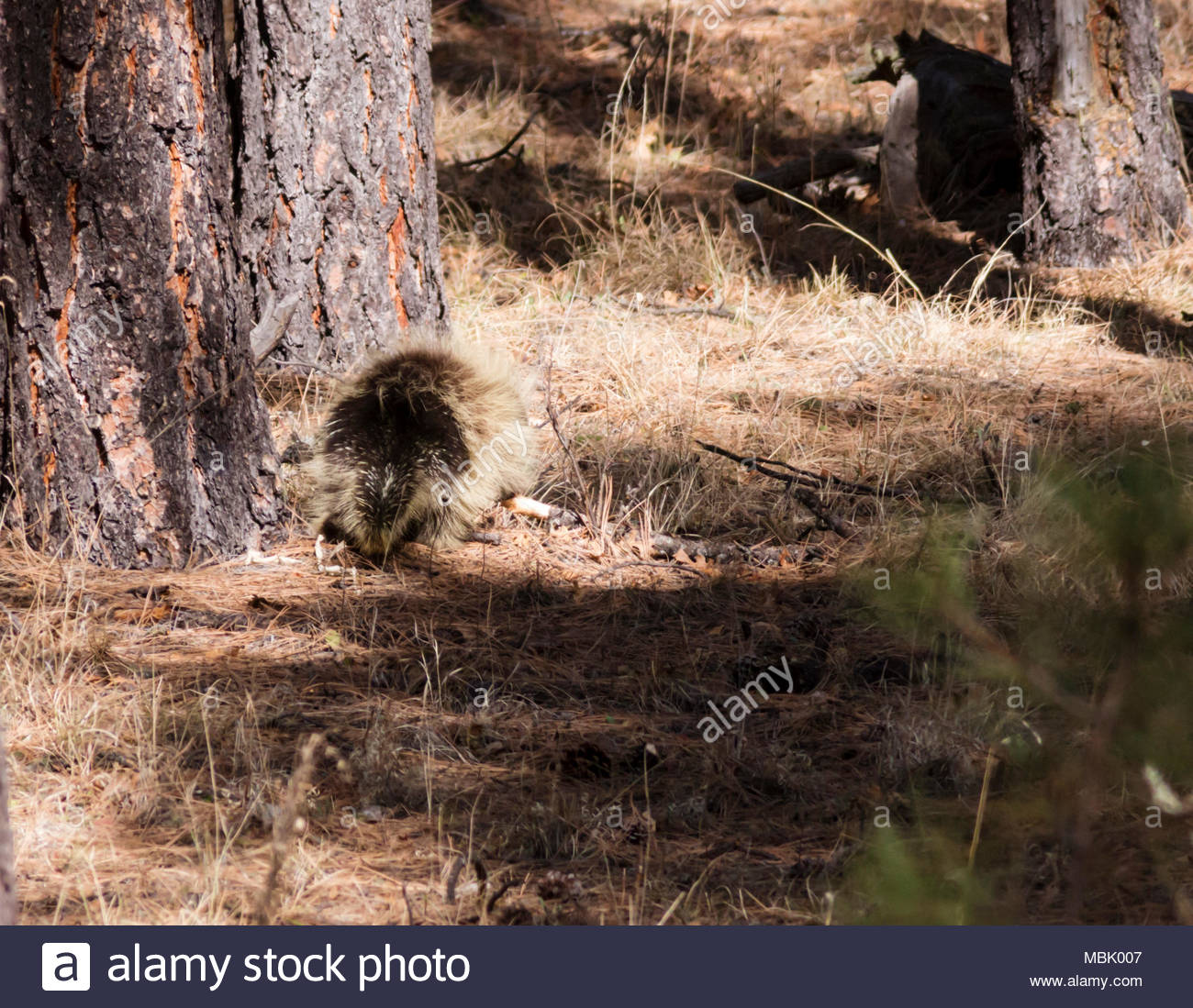 North American Porcupine, Erethizon dorsatum, common porcupine, rear view walking through forest in New Mexico, USA Stock Photo