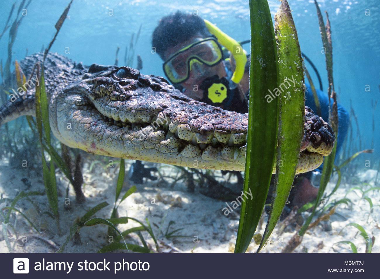 Scuba diver and Saltwater crocodile (Crocodylus porosus), largest of all living reptiles, Palau, Micronesia - Stock Image