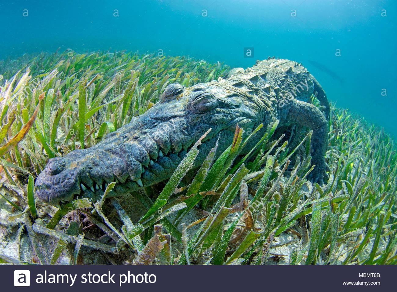 Spitzkrokodil (Crocodylus acutus), Jardines de la Reina, Kuba | American crocodile (Crocodylus acutus), Jardines de la Reina, Cuba - Stock Image