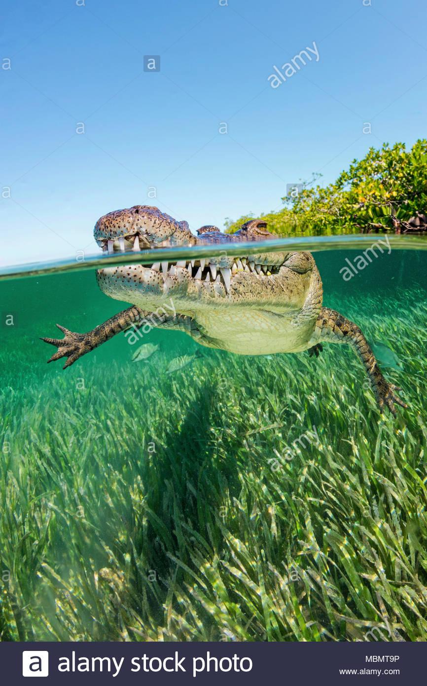American crocodile crocodylus acutus split image jardines de la reina cuba stock photo - Jardines de la reina ...