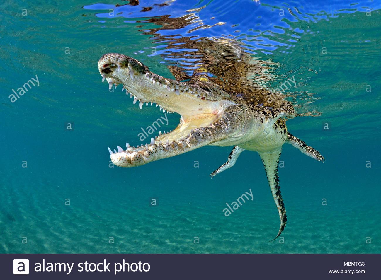 Saltwater crocodile (Crocodylus porosus), largest of all living reptiles, Kimbe Bay, West New Britain, Papua New Guinea - Stock Image