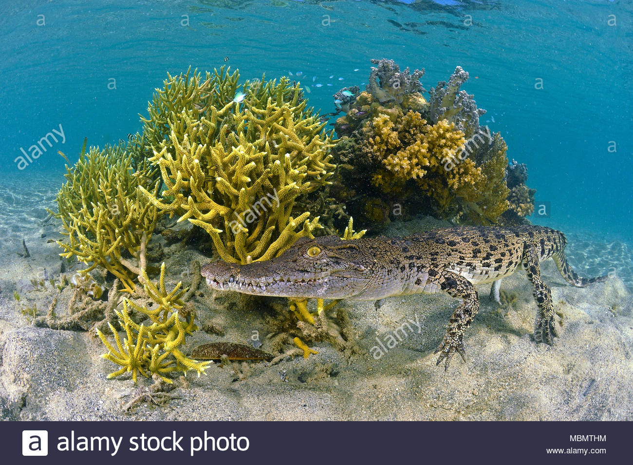 Saltwater crocodile (Crocodylus porosus) at a coral reef, largest of all living reptiles, Kimbe Bay, West New Britain, Papua New Guinea - Stock Image